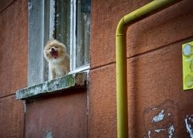 gähnender-Hund